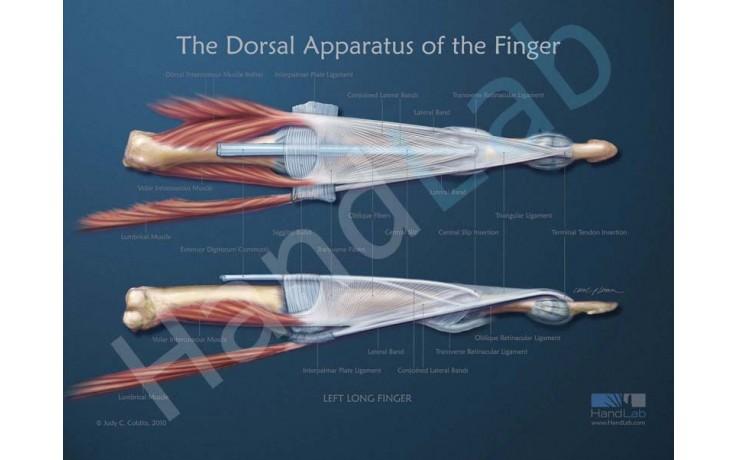 Dorsal Apparatus Anatomical Poster Handlab