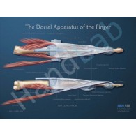 Dorsal Apparatus Anatomical Poster