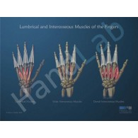 Lumbrical and Interosseous Muscles Anatomical Poster
